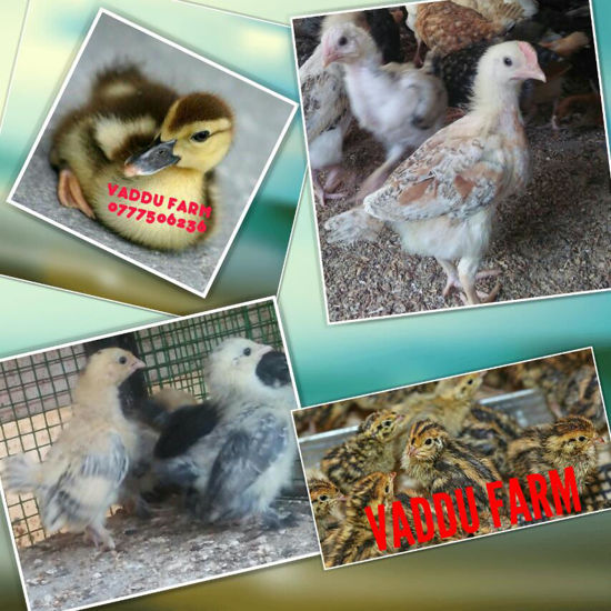 Picture of Poultry for sale / பறவைகள் விற்பனைக்கு