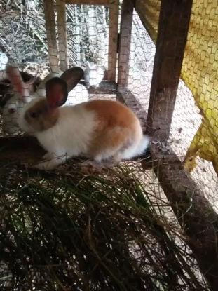 Picture of Rabbits for sale முயல் விற்பனைக்கு